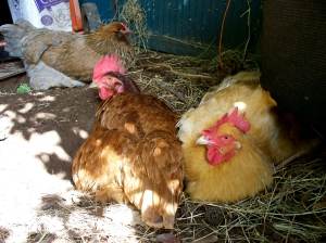 Foraday (background), Lucy (the redhead), and her sidekick, Ethel (blonde) enjoy a sun-dappled dustbath