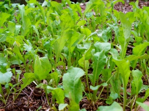 The arugula in the garden that will soon be in my dinner.