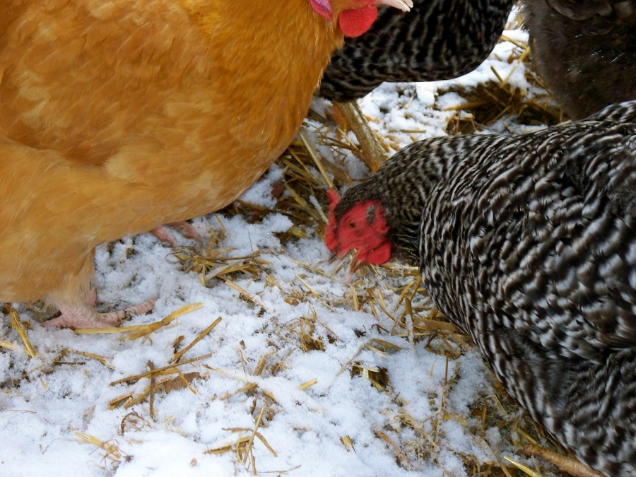 Curious chickens find out what snow tastes like.